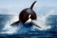 大白鲨的天敌是什么?虎鲸将鲨鱼撞翻杀死(只杀不吃)