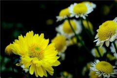 世界上最纯洁的花 菊花(花中隐士不爱争奇斗艳)