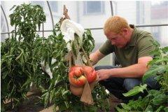 世界上最大的番茄 令人难以想象的巨大番茄(八斤重)